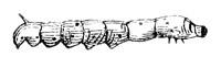 LifePath_SilkWorm_VerSoie_Seidenraupe_1845